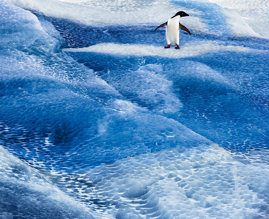 An Adélie penguin on an iceberg in the Ross Sea; photograph by John Weller from his book The Last Ocean: Antarctica's Ross Sea Project, Saving the Most Pristine Ecosystem on Earth. It includes a foreword by Carl Safina and is published by Rizzoli.