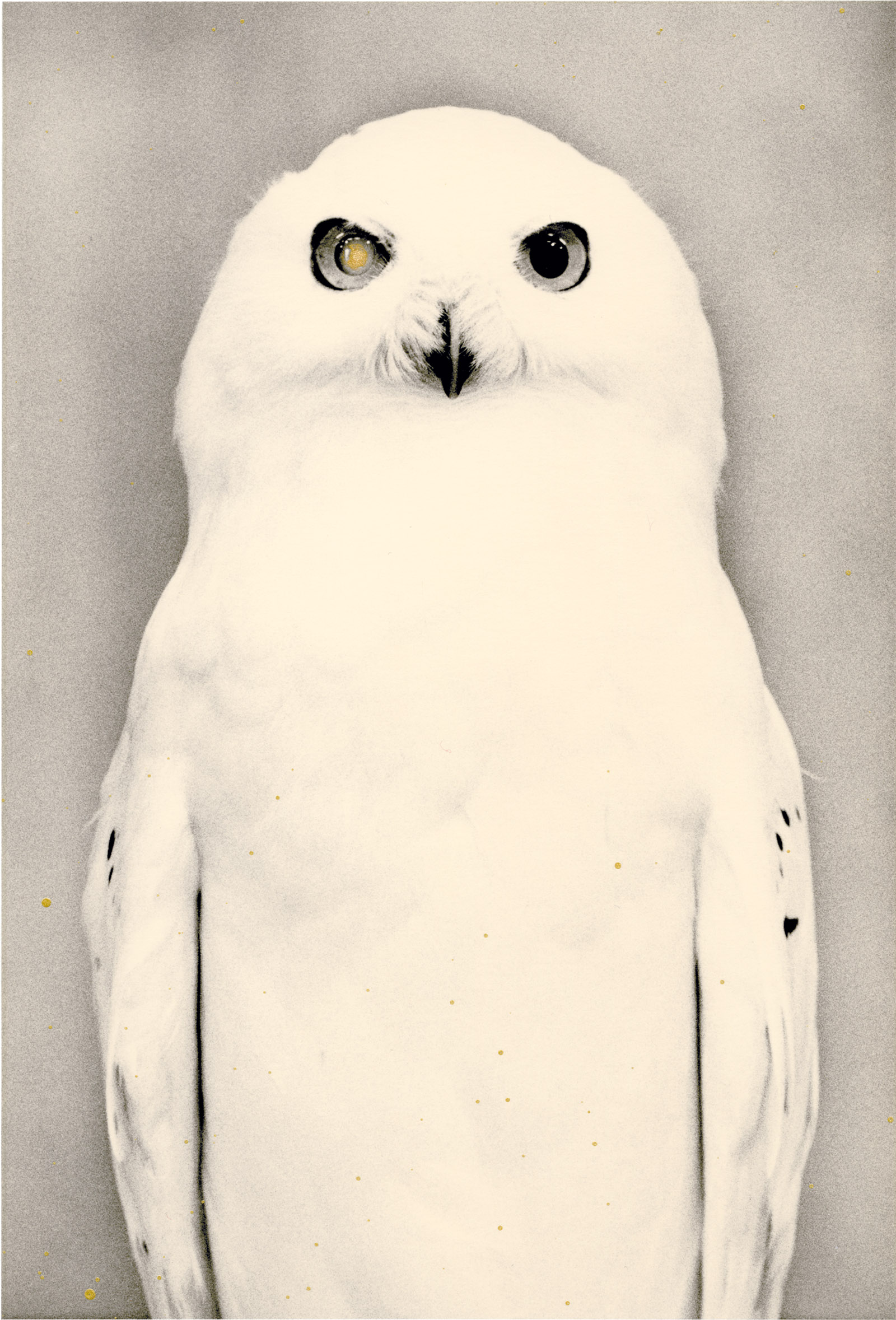 Snowy owl; photograph by Yamamoto Masao from his book Tori, which will be published by Radius in January 2017