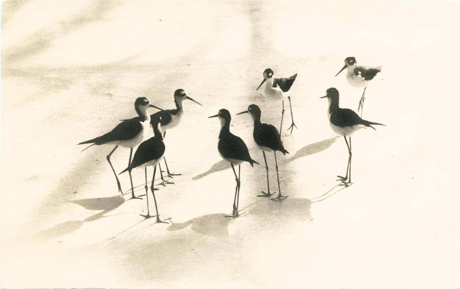 Black-necked stilts; photograph by Yamamoto Masao from Tori