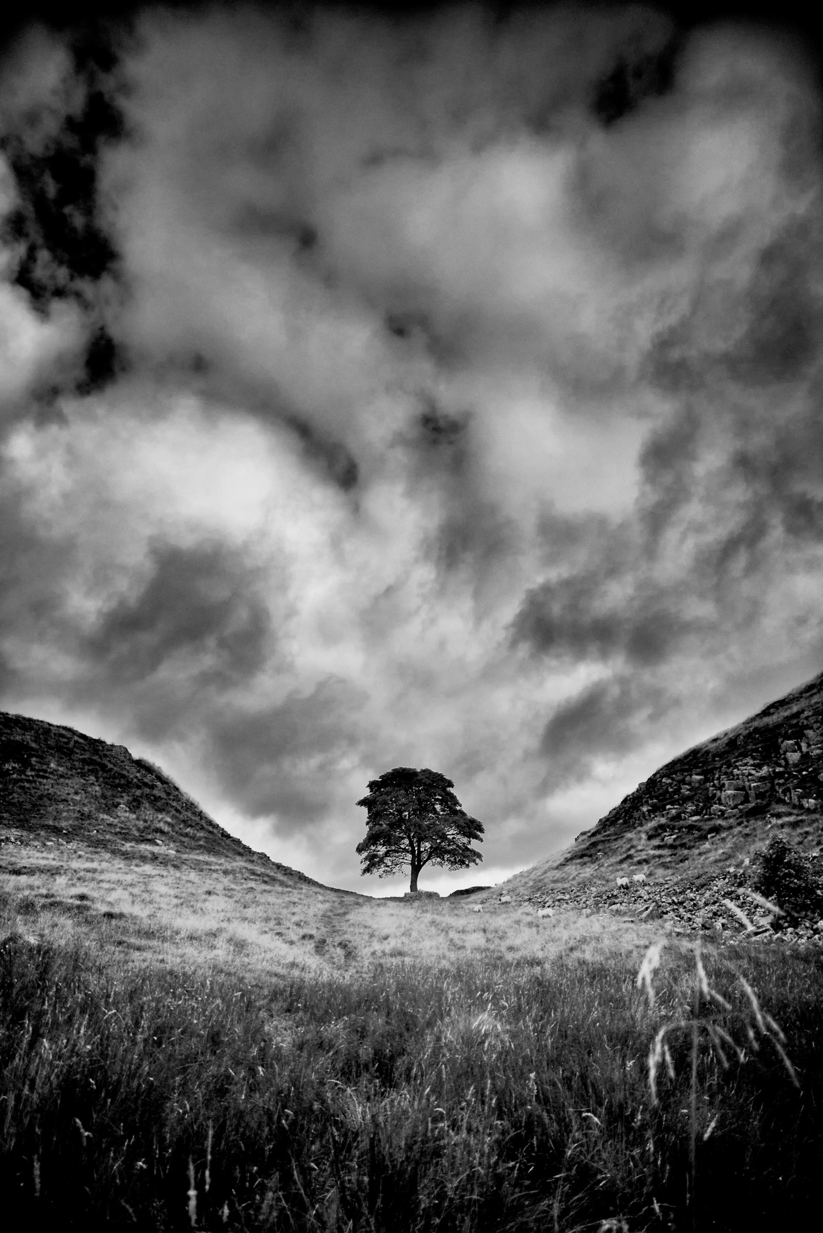 The sycamore tree (Acer pseudoplatanus) at Sycamore Gap, Hadrian's Wall, Northumberland, England; photograph by Rory Garforth