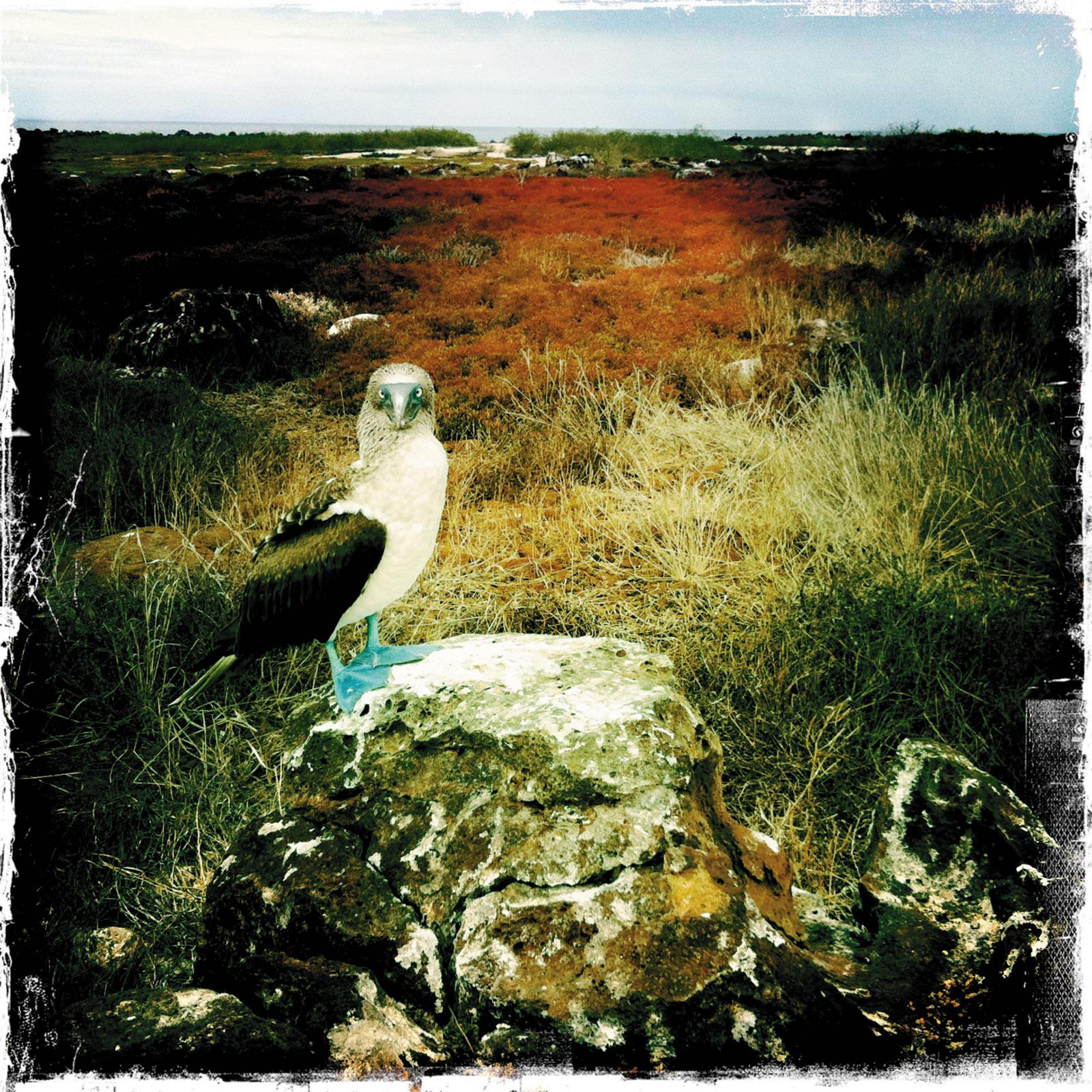 Blue-footed booby, Galápagos Islands, 2012