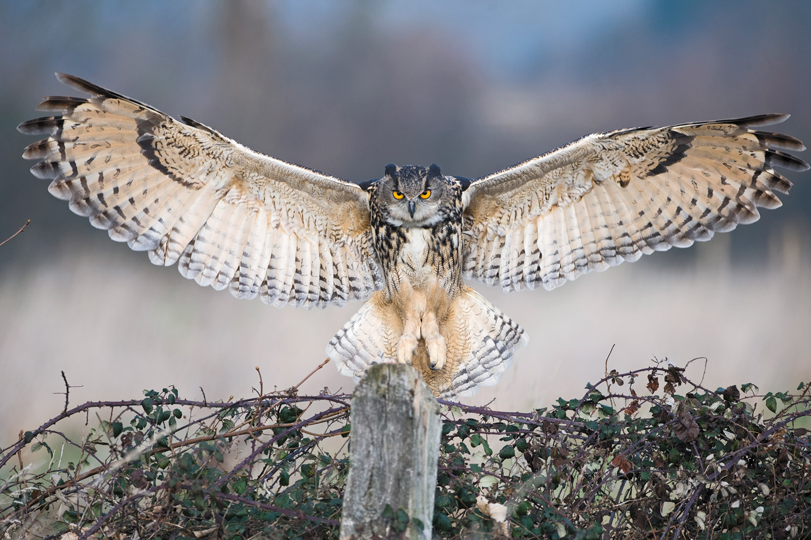 A Eurasian eagle owl, one of the largest owls in the world, whose wings may span more than six feet; from Mike Unwin and David Tipling's The Enigma of the Owl