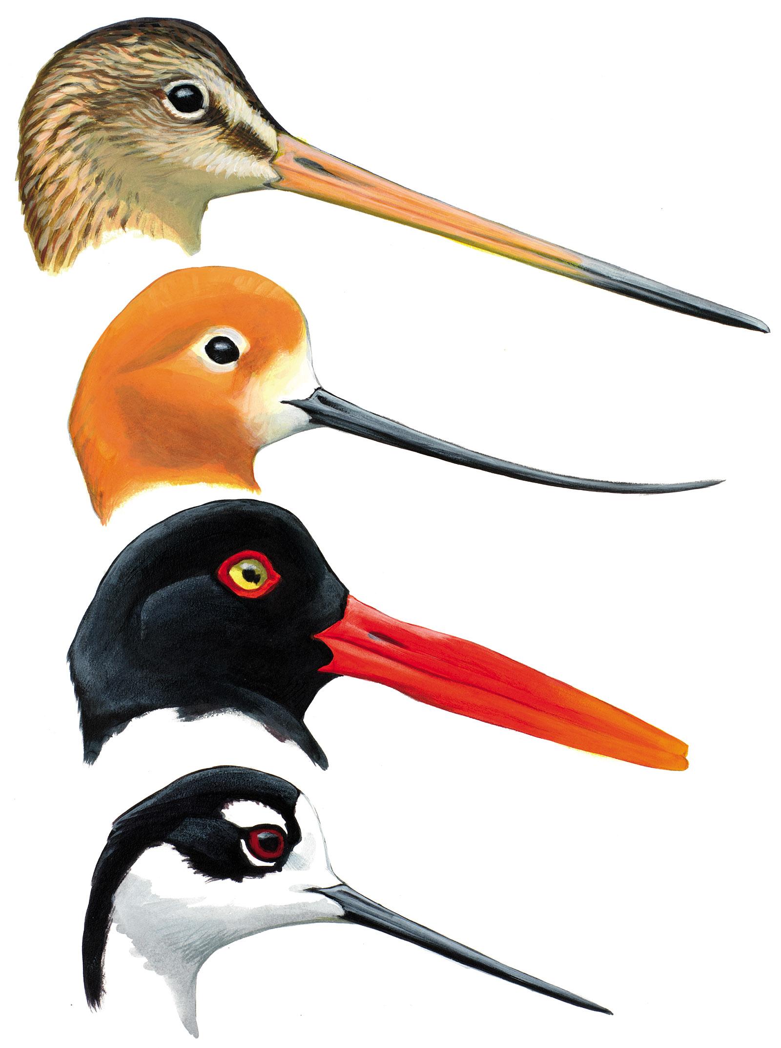 Illustration of four shorebirds: the marbled godwit, American avocet, American oystercatcher, and black-necked stilt